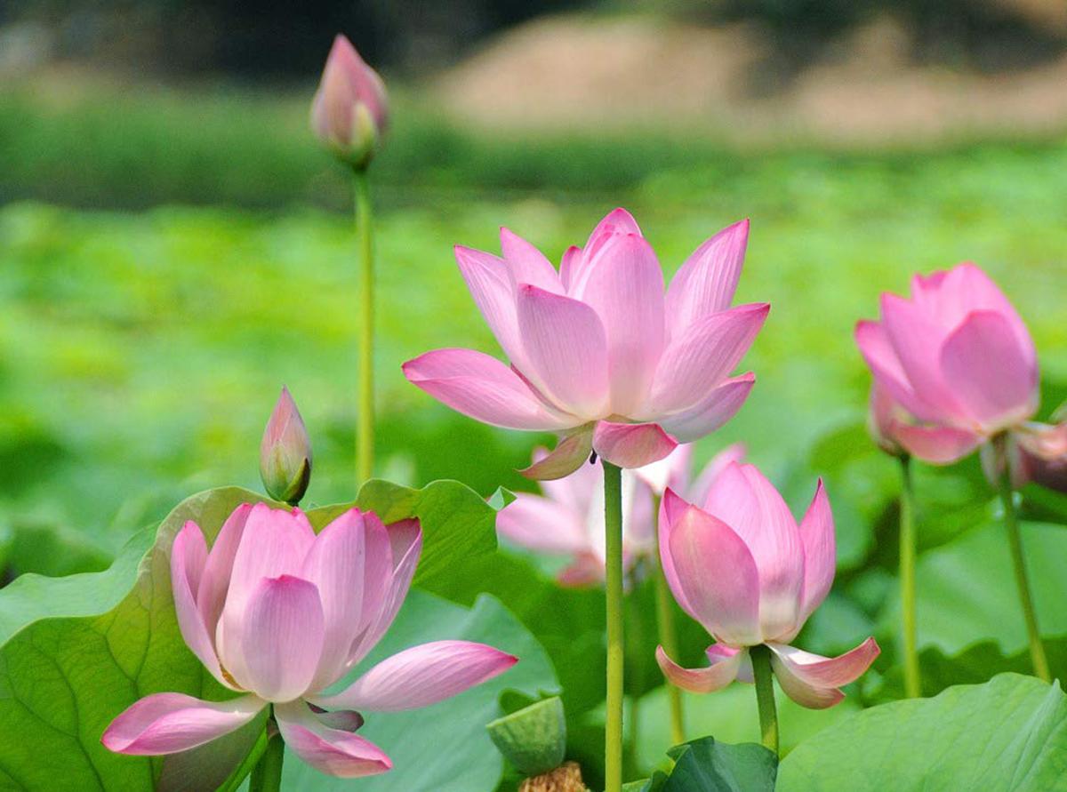 Ý nghĩa tốt đẹp của hoa sen
